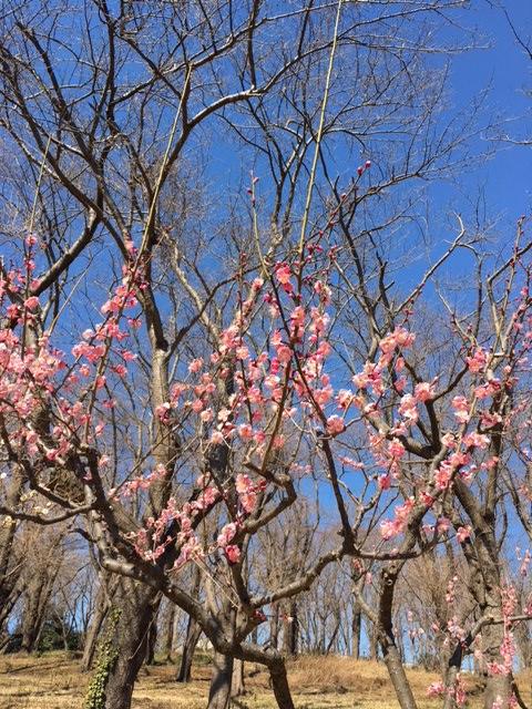 【開催レポート】根岸森林公園で観梅しよう!