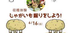 【雨天予報のため中止になります】収穫体験 ジャガイモ掘りをしよう!
